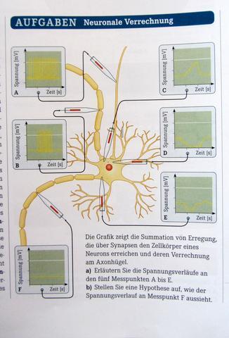 Neuronale Verrechnung? (Schule, Biologie, Nerven)