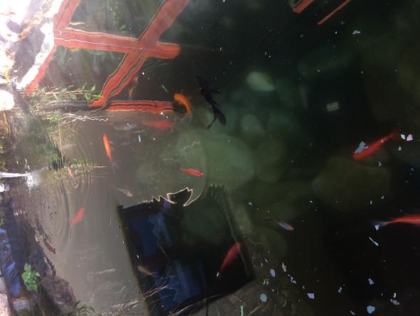 Nie Nachwuchs Im Teich Tiere Fische Goldfische