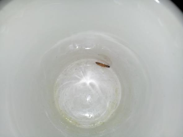 bild der larve - (Ungeziefer, Kaefer, Larven)
