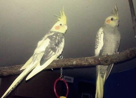 meine 2 - (Vögel, Tierarzt, Geschlecht)
