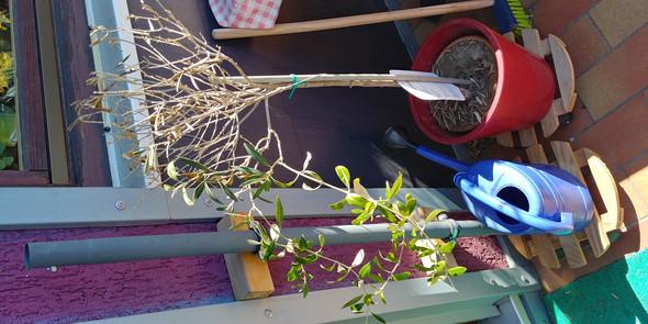 Olivenbaum Ast abschneiden?