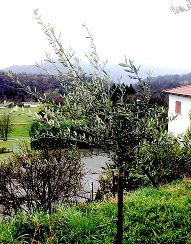 Olivenbäumchen - (Garten, Baum)
