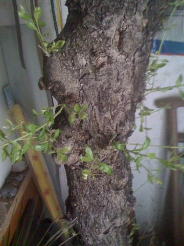 olivenbaum mit wassertireben abschneiden garten pflanzen pflanzenpflege. Black Bedroom Furniture Sets. Home Design Ideas