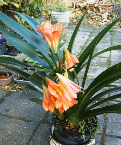 orange bl hende zimmerpflanze pflanzen blumen. Black Bedroom Furniture Sets. Home Design Ideas