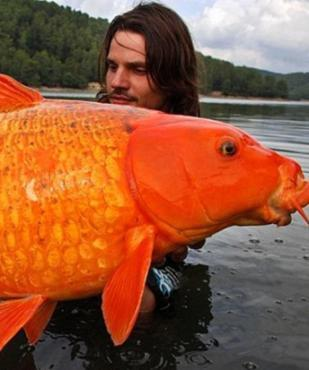 Orangener koi karpfen gesucht fische for Welche fische passen zu kois