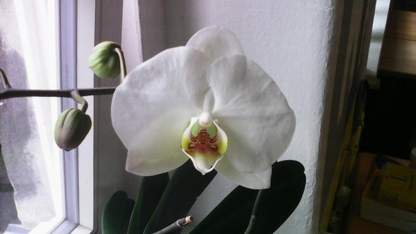 orchidee bekommt braune bl tter pflege orchideen. Black Bedroom Furniture Sets. Home Design Ideas