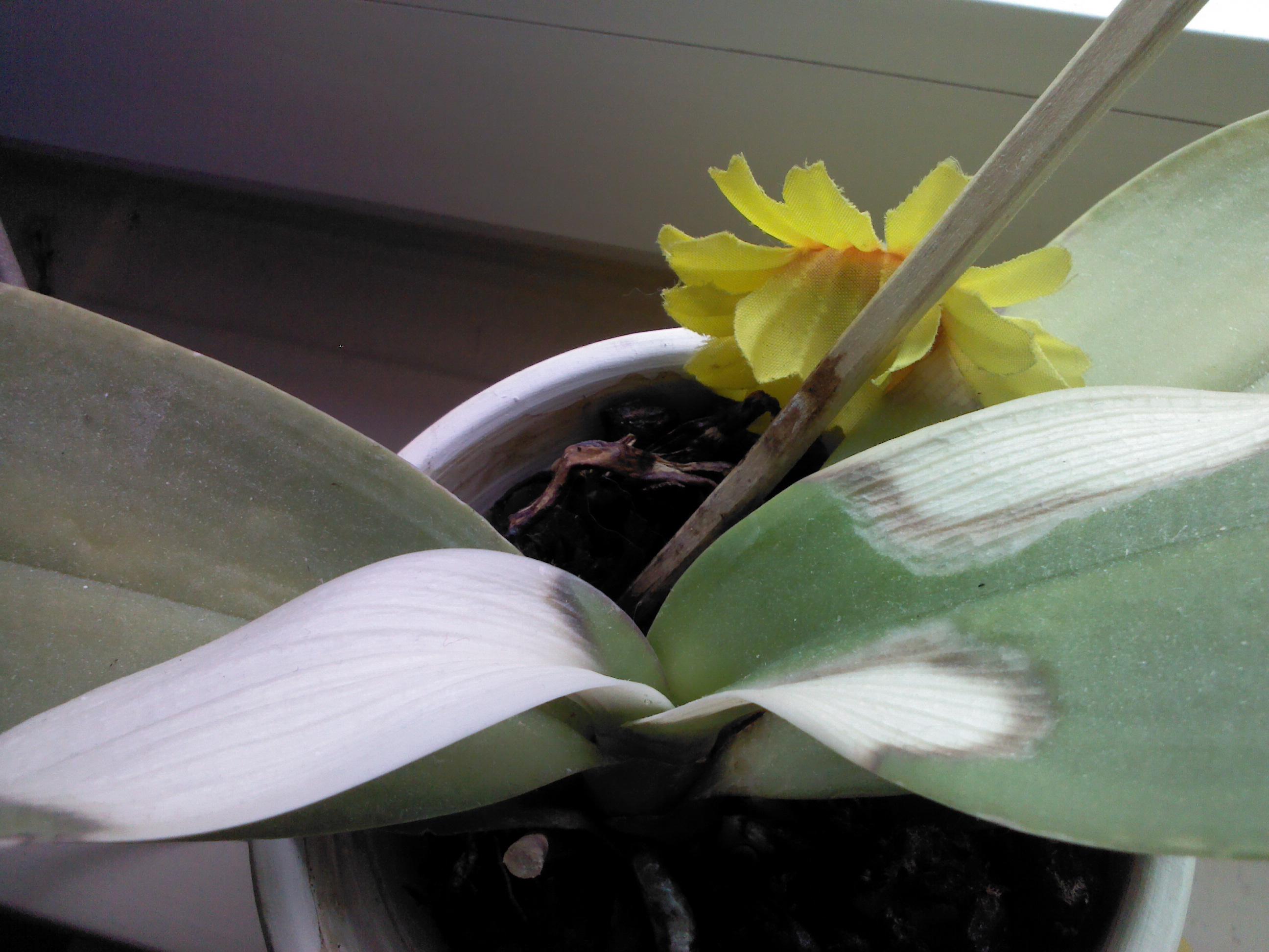 orchidee bekommt gelbe bl tter pflanzen orchideen. Black Bedroom Furniture Sets. Home Design Ideas