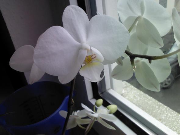 blüht so schön - (Pflanzen, Orchideen)