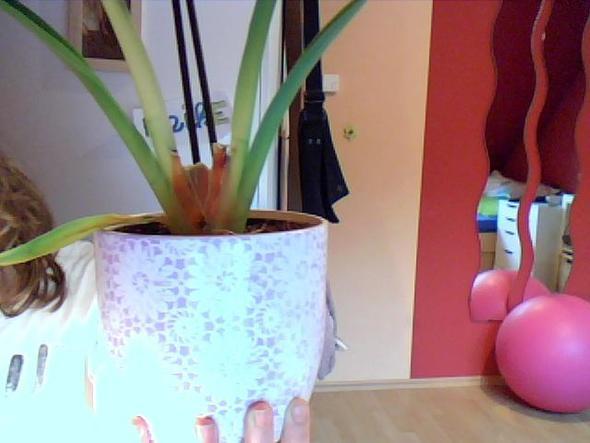 orchidee cambria bl tte werden gelb und fallen ab pflege pflanzen orchideen. Black Bedroom Furniture Sets. Home Design Ideas