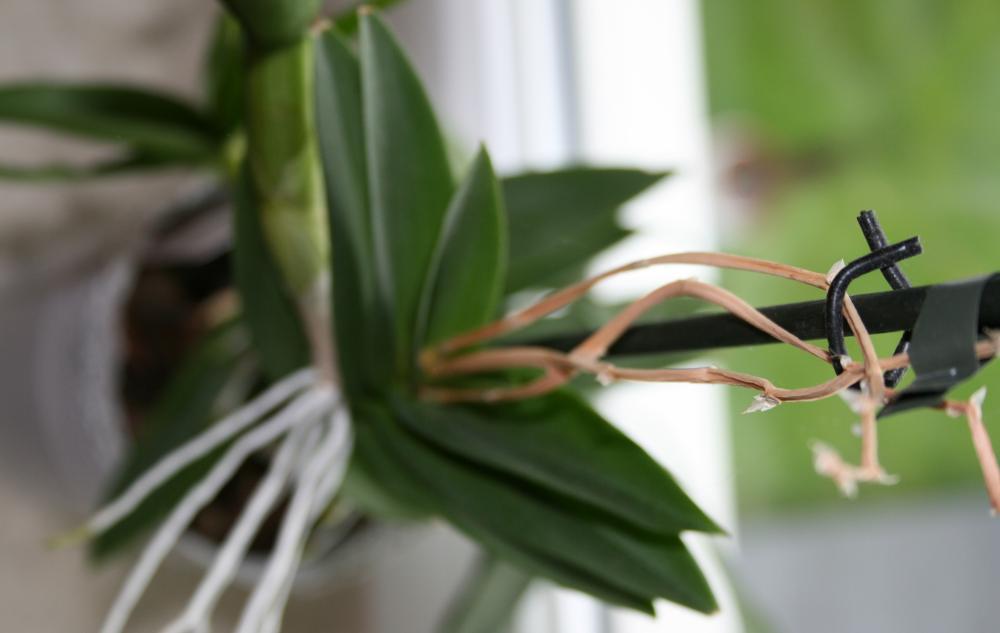 orchidee eigenartige dendrobium luftwurzeln pflanzen. Black Bedroom Furniture Sets. Home Design Ideas