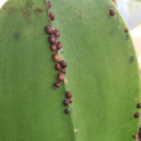 orchidee hat braune pickelchen pflege punkte sch dlinge. Black Bedroom Furniture Sets. Home Design Ideas