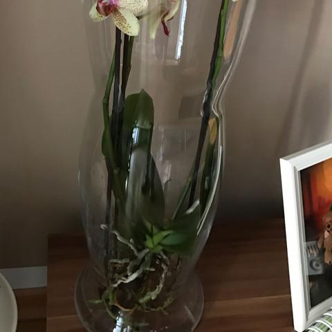 orchidee im glas wie und vor allem wie oft d ngen. Black Bedroom Furniture Sets. Home Design Ideas