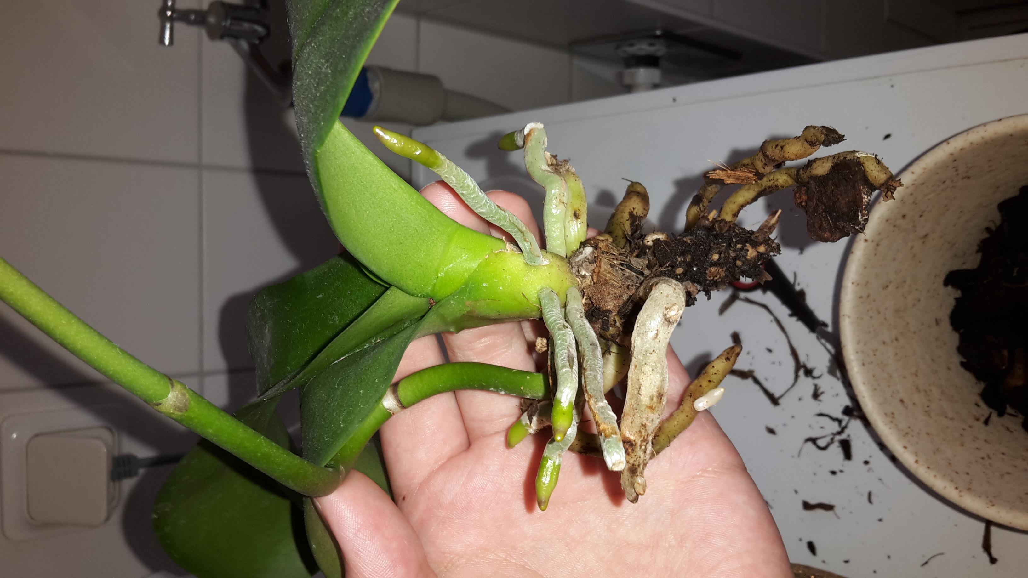 orchidee stengel oder wurzel pflanzen pflanzenpflege. Black Bedroom Furniture Sets. Home Design Ideas