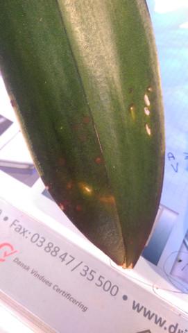 Welche krankheiten k nnten die orchideen haben garten pflanzen blumen - Orchideen krankheiten bilder ...