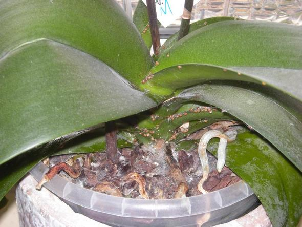 orchideen parasieten pflanzen sch dlinge. Black Bedroom Furniture Sets. Home Design Ideas