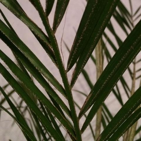 Palme 2 - (Garten, Pflanzen, Blumen)