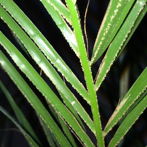 Palme 1 - (Garten, Pflanzen, Blumen)