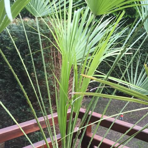 palme ableger z chten garten pflanzen gartenarbeit. Black Bedroom Furniture Sets. Home Design Ideas