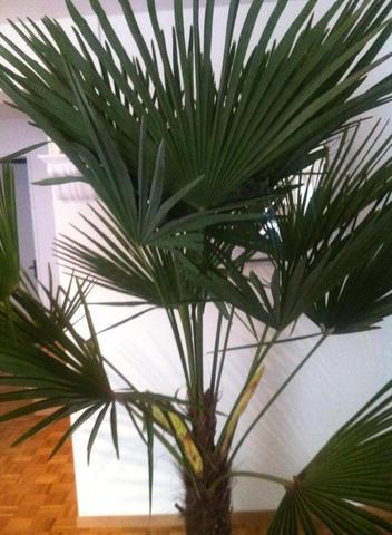palme bekommt samen triebe was tun zimmerpflanzen. Black Bedroom Furniture Sets. Home Design Ideas