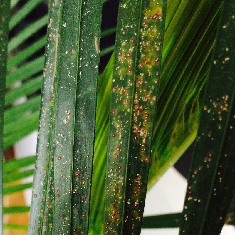 palme hat komische flecken pflanzen insekten insektizid. Black Bedroom Furniture Sets. Home Design Ideas