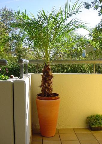 Palme - (Garten, Natur, Blumen)