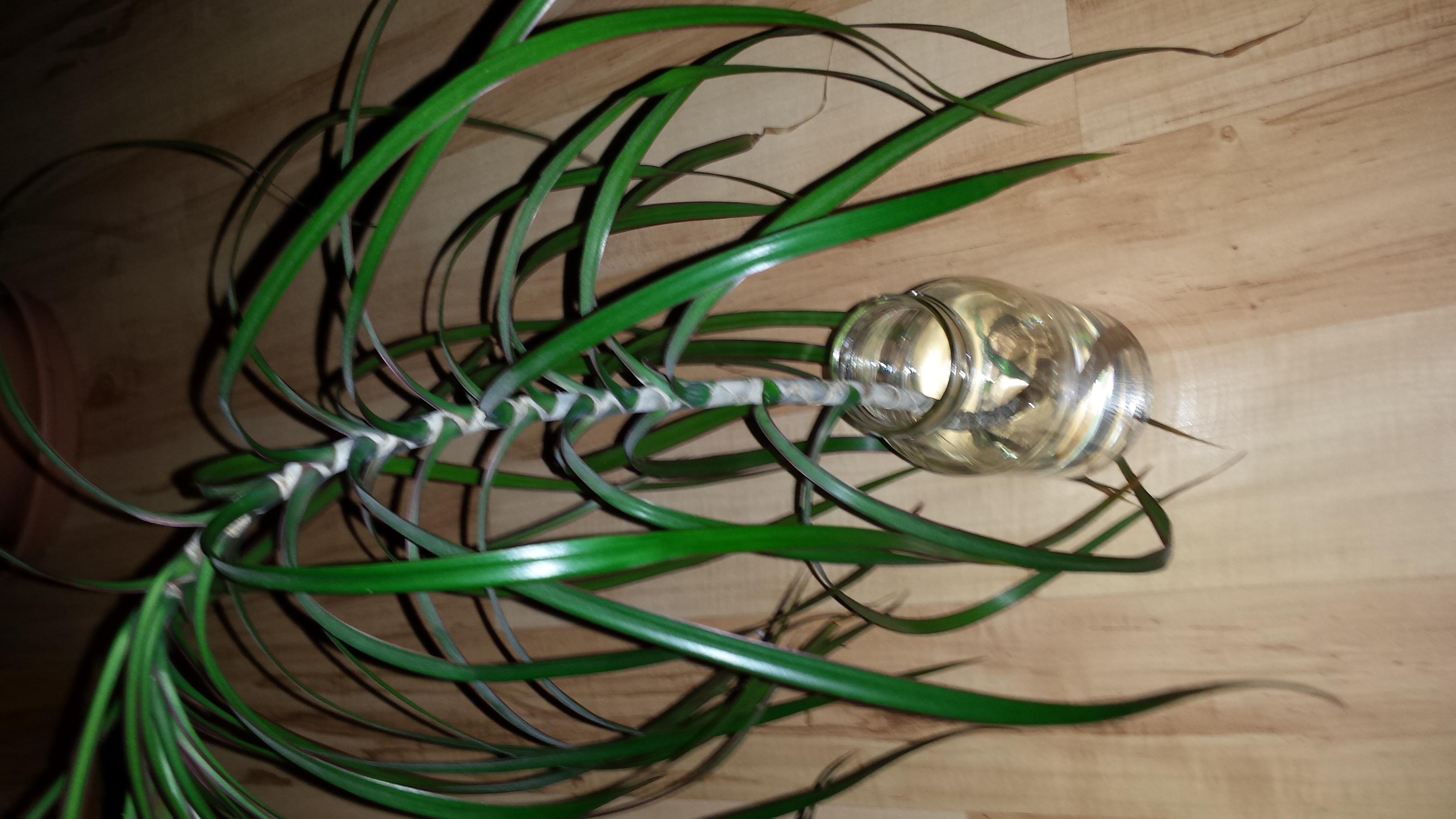 palme wurzeln hilfe pflanzen wurzel palme. Black Bedroom Furniture Sets. Home Design Ideas