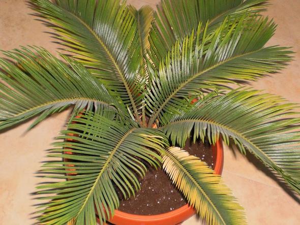 palmfarn cycas revoluta hilfe ver gelbung gesundheit wasser pflege. Black Bedroom Furniture Sets. Home Design Ideas