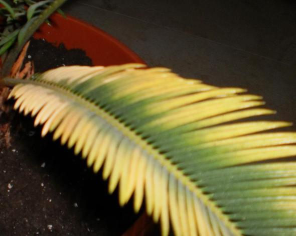 Ver-gelbung an den Blättern :( - (Gesundheit, Wasser, Pflege)