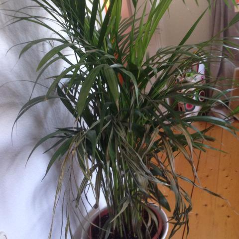 Hier die Pflanze, nur die unteren Blätter gehen kaputt - (Pflanzen, IKEA, Palmpflanze)