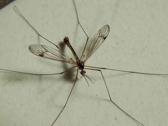 panische angst vor schnaken und spinnen insekten panik. Black Bedroom Furniture Sets. Home Design Ideas