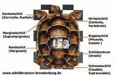 Panzer - Wirbelschild - (Schildkröten, panzer, Verformung)