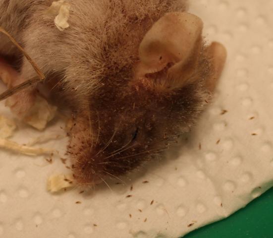 Tierchen an meiner toten maus - (Maus, tot, Parasiten)