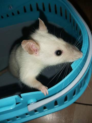 Parasiten Ratten?