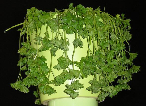 Rankel-Petersilie - (Pflanzen, Kräuter)