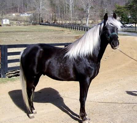 silver dapple - (Pferde, Farbe)