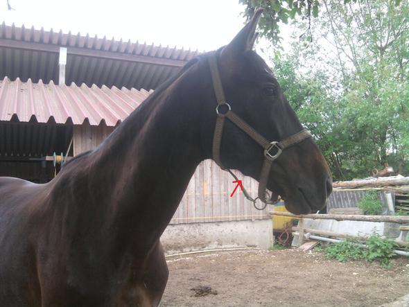 Knubbel am kopf - (Pferde, Kopf, Knubbel)