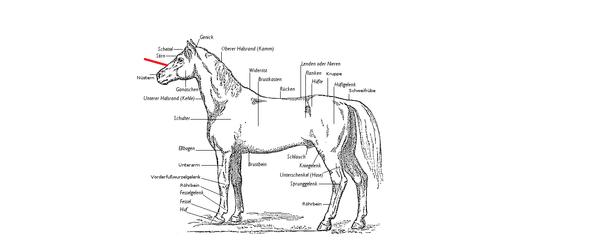 Pferde-Anatomie
