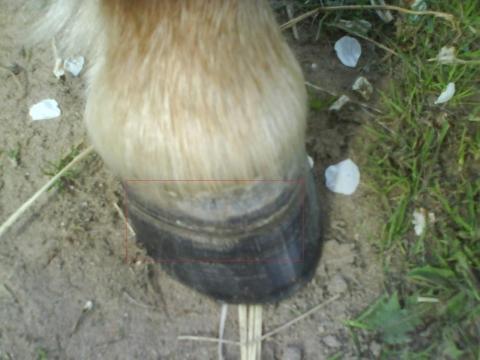 Huf 1 - (Pferde, Hufpflege, Hufkrankheiten)