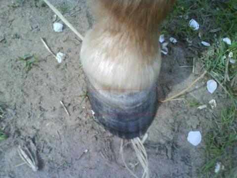 Huf 2 - (Pferde, Hufpflege, Hufkrankheiten)