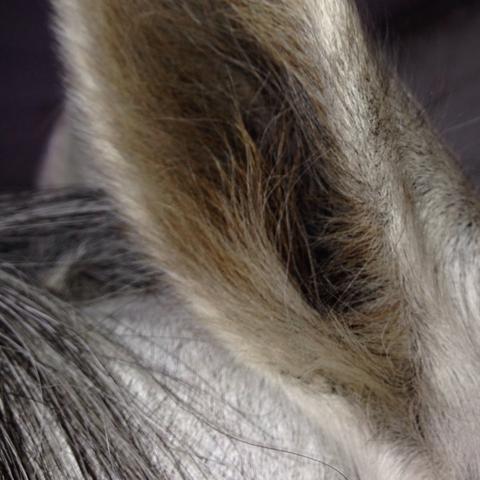Das Ohr allgemein von der Seite  - (Pferde, Ohr, Juckreiz)