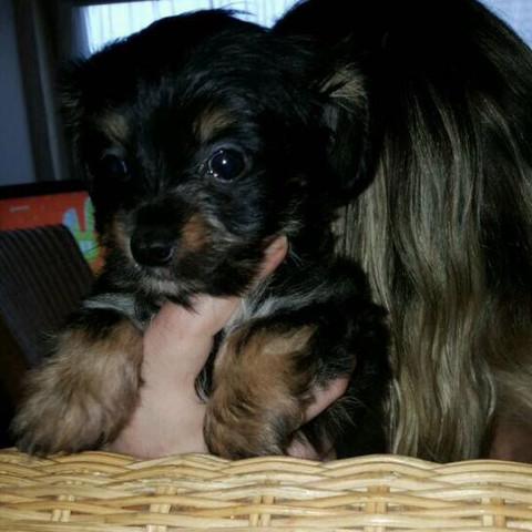 Das ist der kleine Yorkshire:) - (Hund, Name, Welpen)