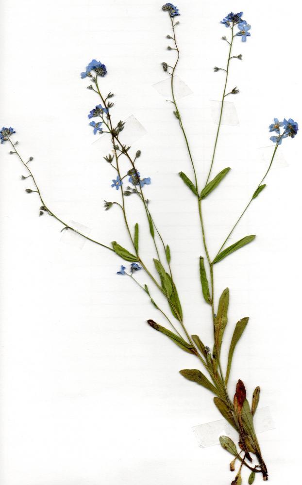 pflanze f r herbarium bestimmungsproblem schule pflanzen. Black Bedroom Furniture Sets. Home Design Ideas