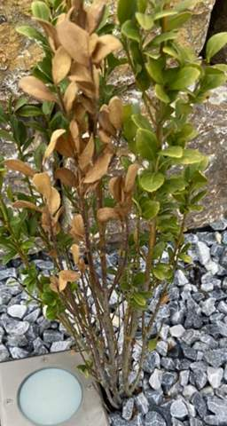 Pflanze speziell Säulen Ilex wird braun, warum?