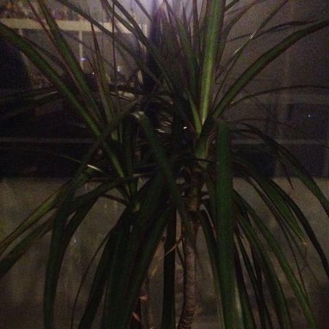 Pflanze - (Pflanzen, Drachenbaum)