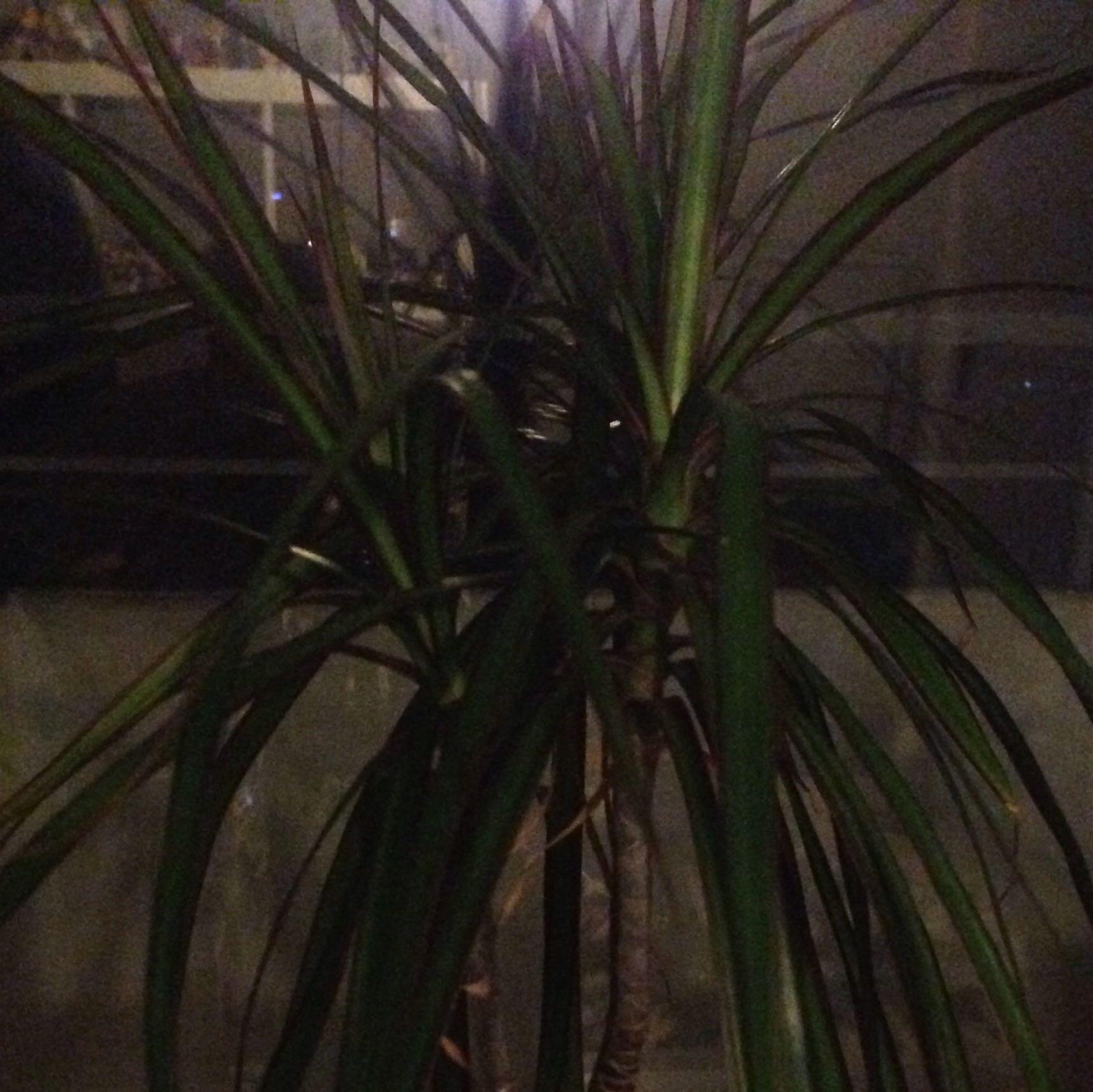 Pflanze stinkt was tun pflanzen drachenbaum - Zimmer stinkt was tun ...
