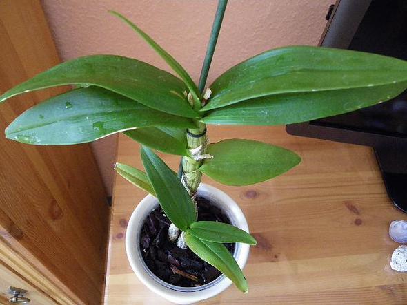 Orchidee 3 - (Orchideen, kein Wachstum)