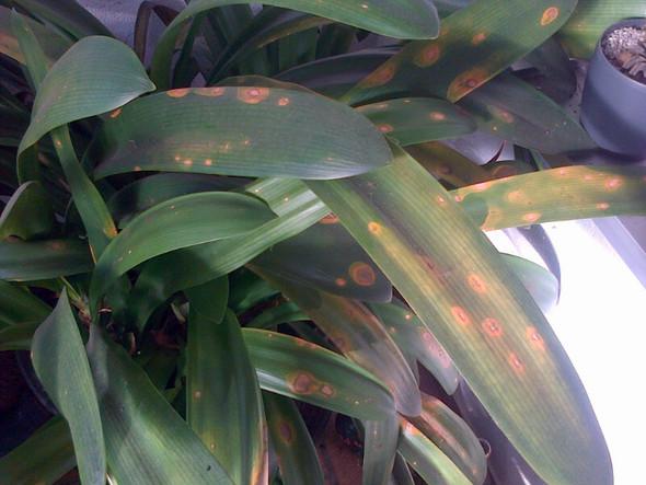 Clivie 01 - (Garten, Pflanzen, Pflanzenpflege)
