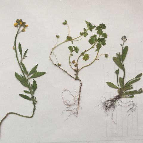 Die erste Pflanze hat gelbe Blüten, die anderen zwei haben blaue - (Garten, Pflanzen, Kräuter)