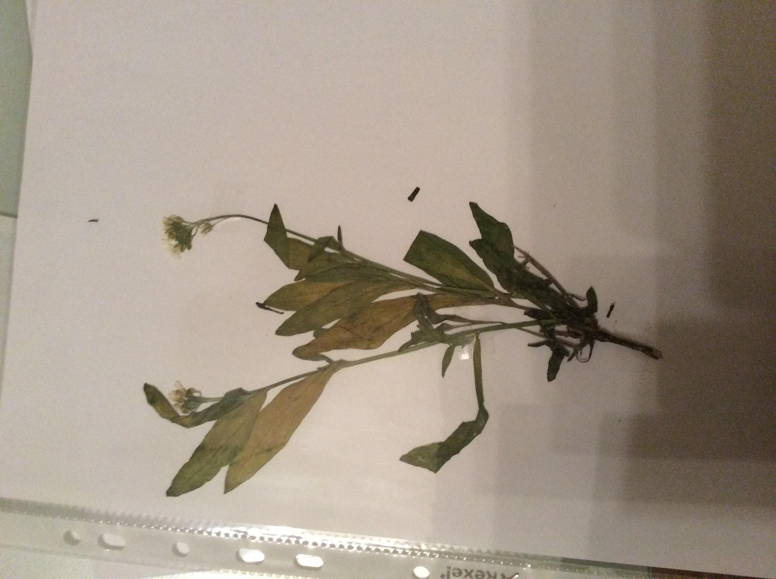 pflanzen f r ein herbarium bestimmen biologie. Black Bedroom Furniture Sets. Home Design Ideas