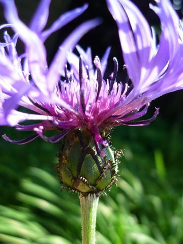 Blume - (Foto, Garten, Pflanzen)